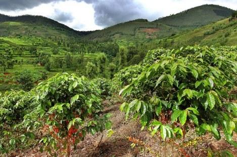 plantation café rwanda