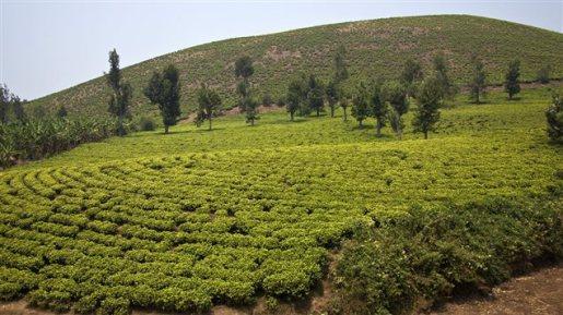 plantation thé rwanda