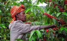 récolte café rwanda