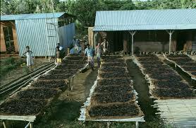 Séchage vanille Madagascar