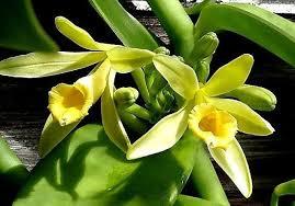 Fleur de vanillier Madagascar