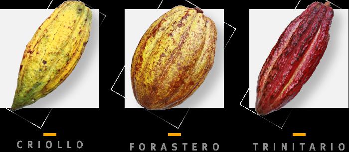 types de cacao